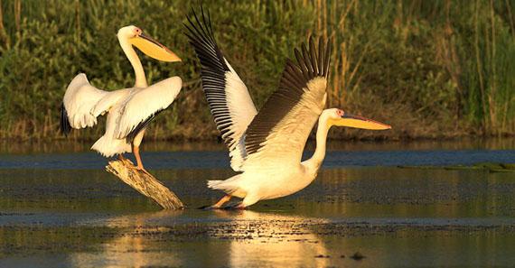 Pelícanos en el delta del Danubio